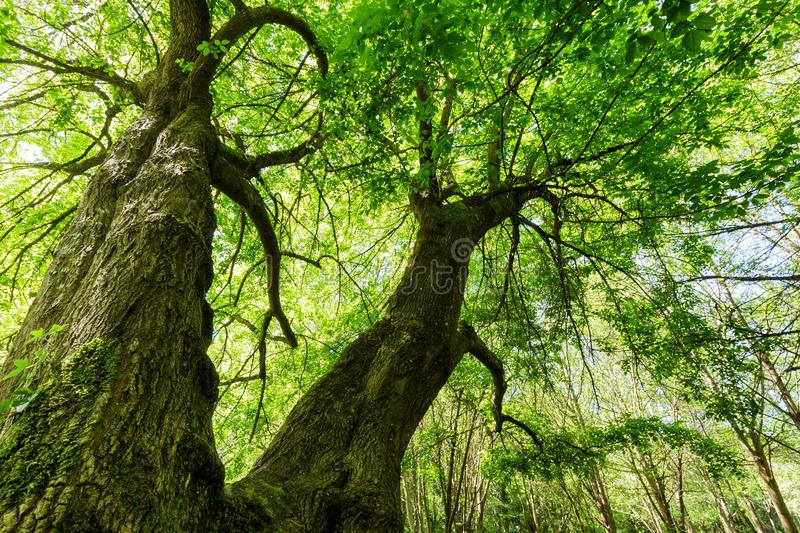 Huge maple tree royalty free stock images