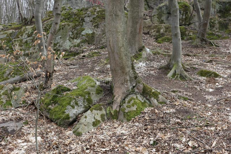 Huge moss-covered boulders lie on the slopes of the forest.  royalty free stock image