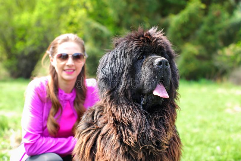Huge Newfoundland dog detail on head with blurred woman in pin. K, and green park in background royalty free stock image
