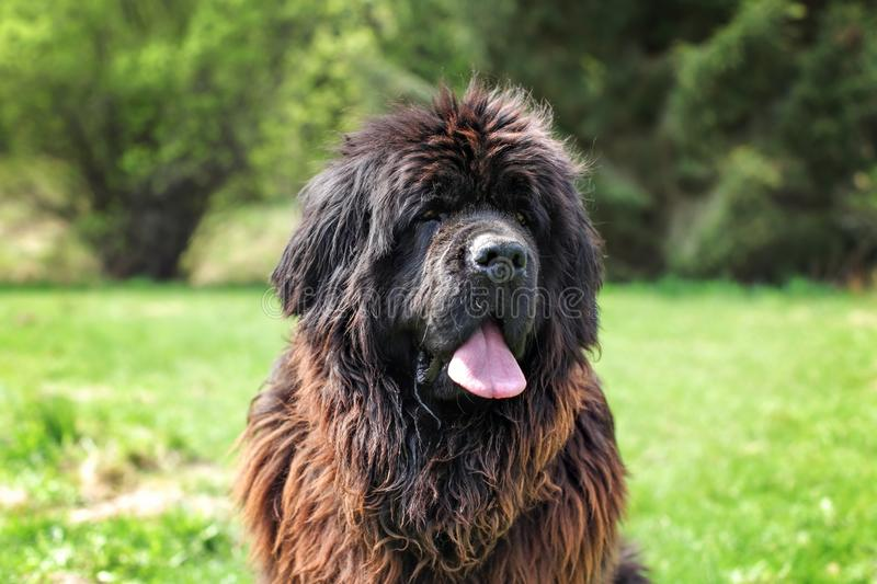 Huge newfoundland dog, with green park in background. stock photography