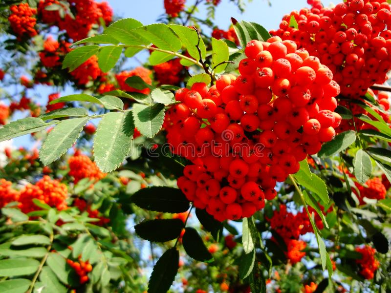 A huge number of bright red berries of mountain ash on the branches. royalty free stock photography