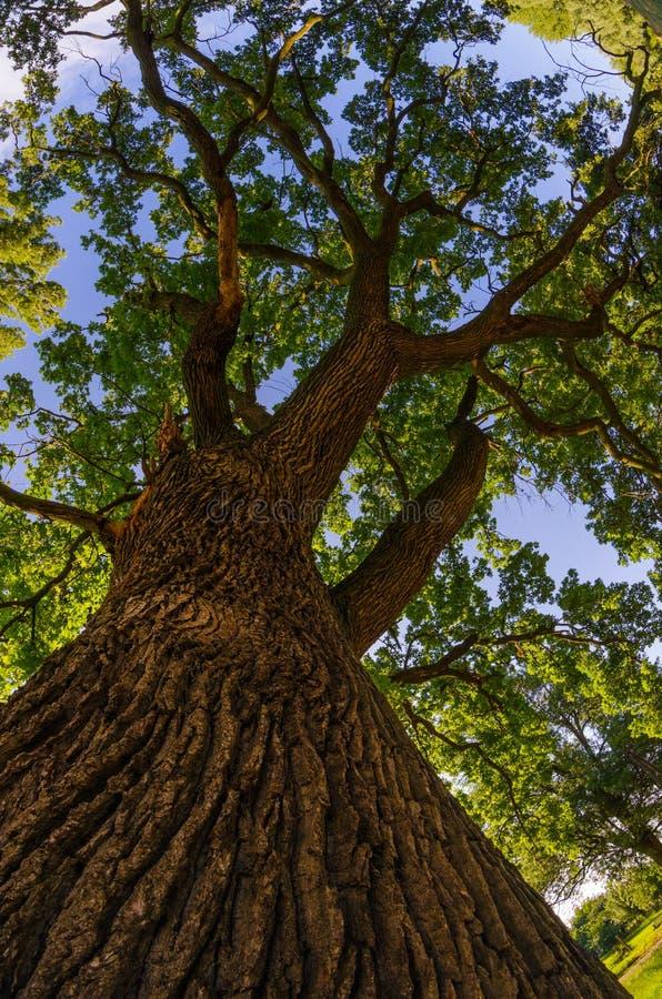 Huge oak tree on sunny summer day. Through the fisheye lens stock image