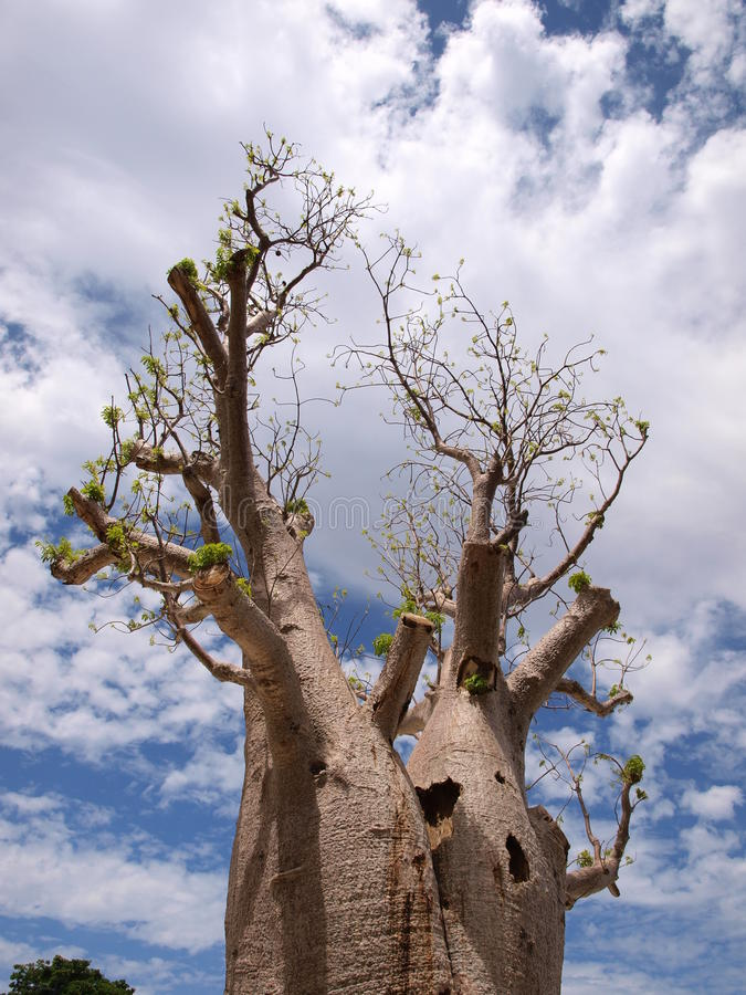 Huge Old Tree Royalty Free Stock Images