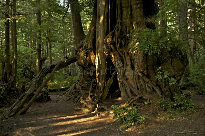 Huge Old Tree royalty free stock photography