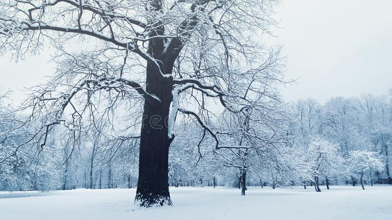 Huge old tree in winter park, snow covered branches, bare trunks royalty free stock photography