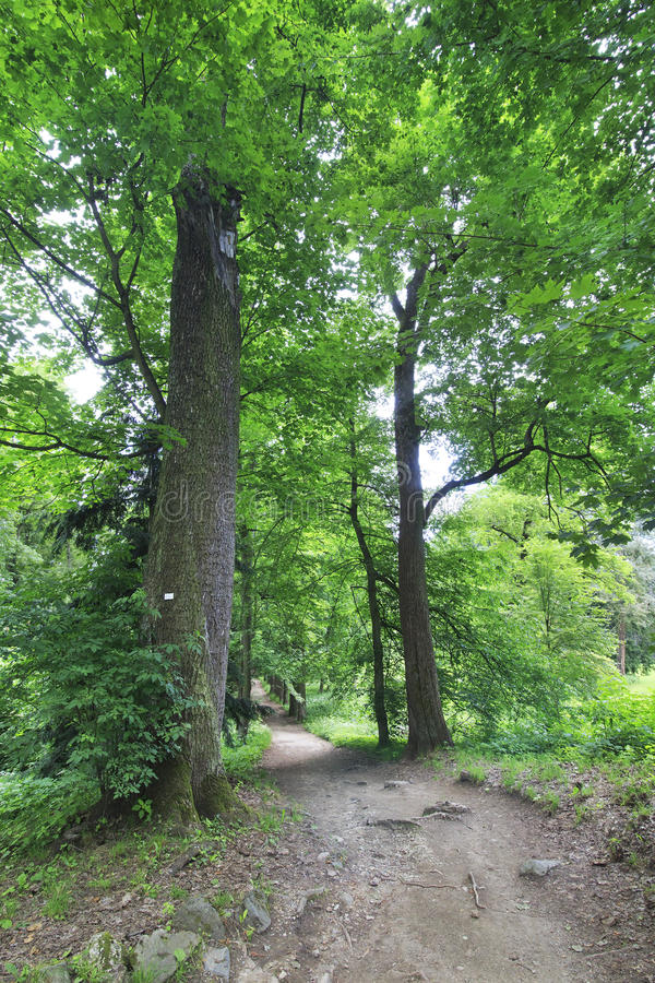 Huge old trees in the garden. Of the castle Konopiste stock photography