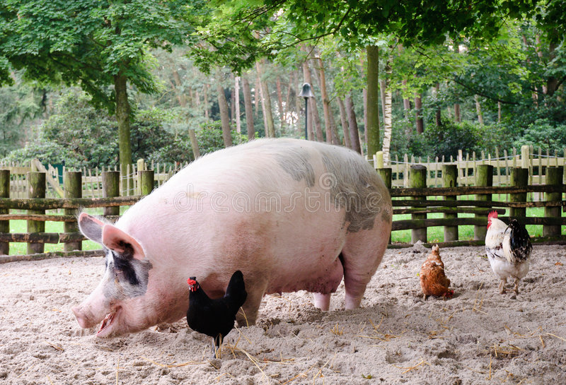 Huge Pig. A large pig looking for food together with some chickens stock images