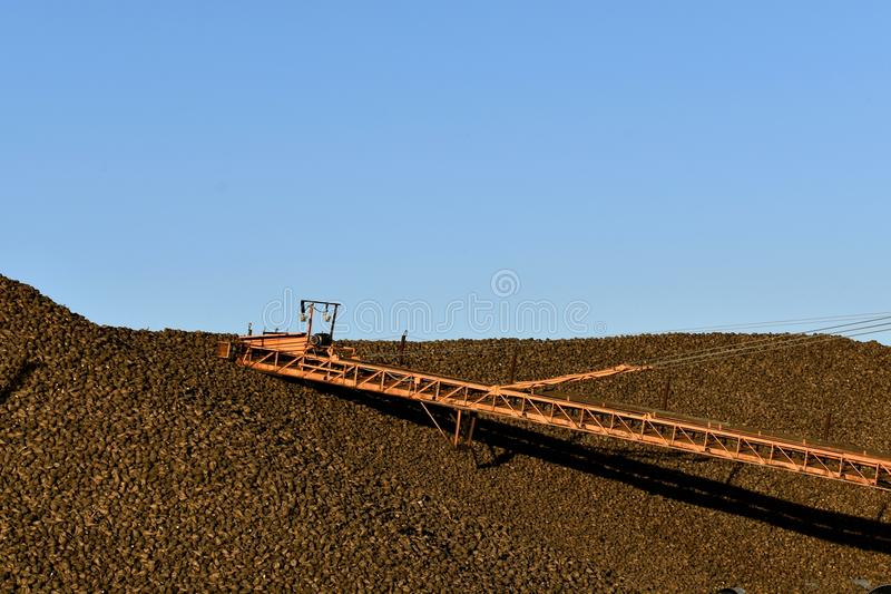 Huge pile of sugar beets royalty free stock images
