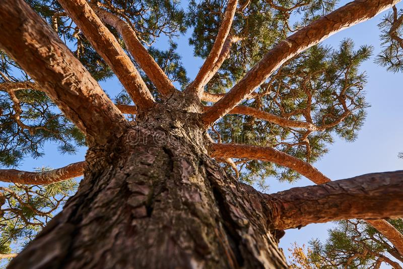 A huge pine rushed into the sky. Close-up and texture of the trunk goes into branches. Blue sky. Perfect nature background for any stock images