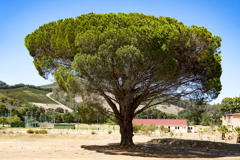 Huge pine tree in South Africa stock photo