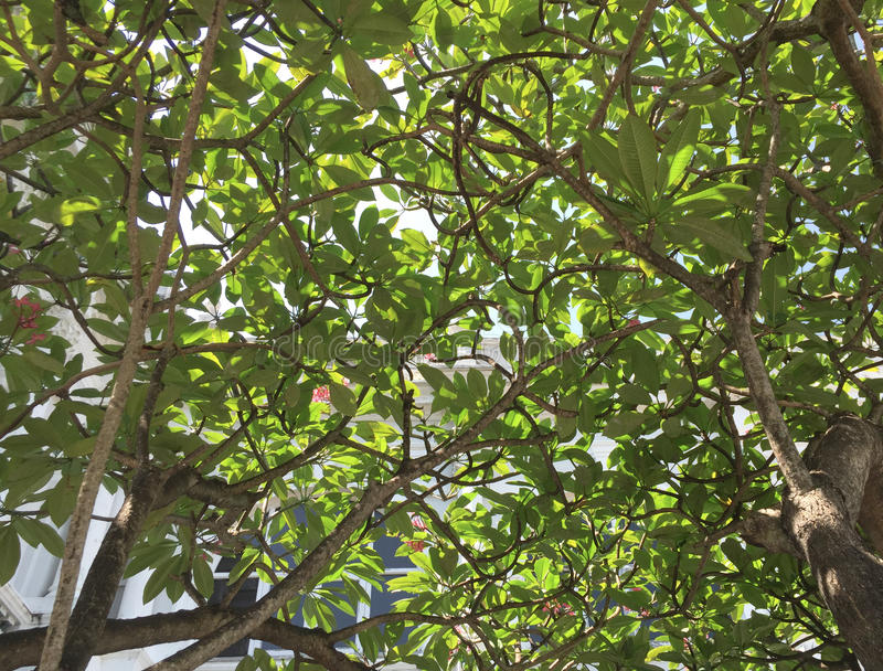 The huge plumeria tree in Singapore Botanic Garden. In Singapore royalty free stock photography