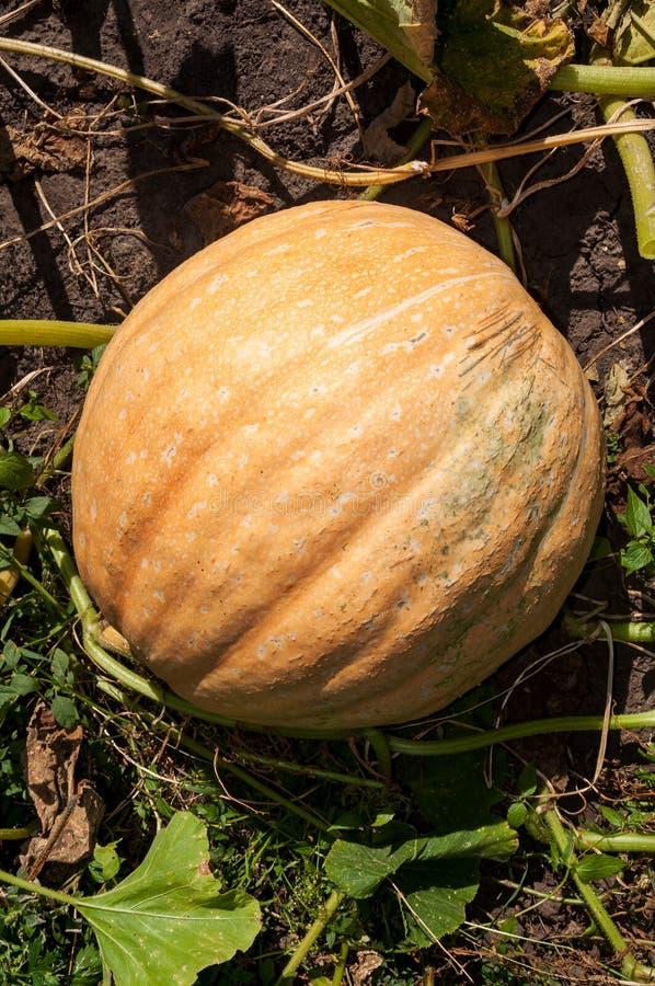 Huge pumpkin in garden. Close-up stock images