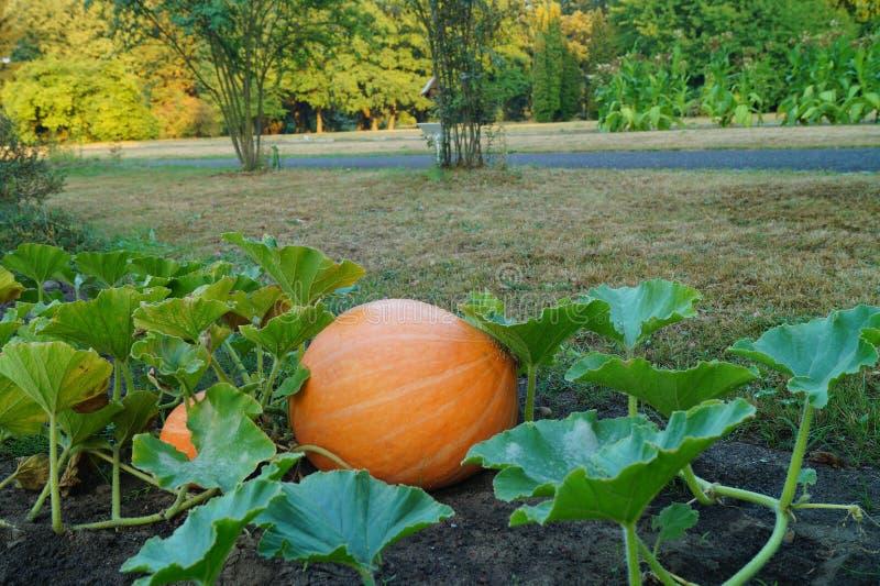 Huge pumpkin in garden. Garden in Lodz stock image