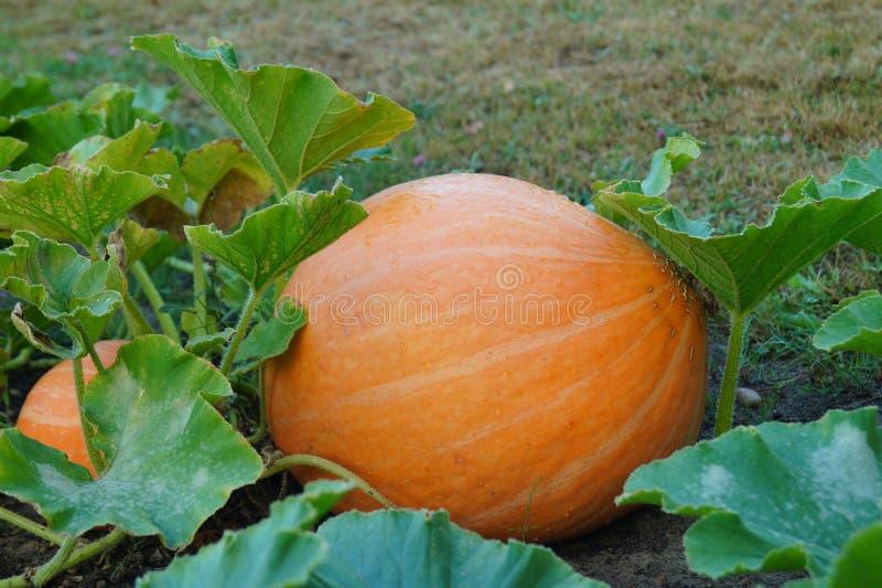 Huge pumpkin in garden. Garden in Lodz royalty free stock photos