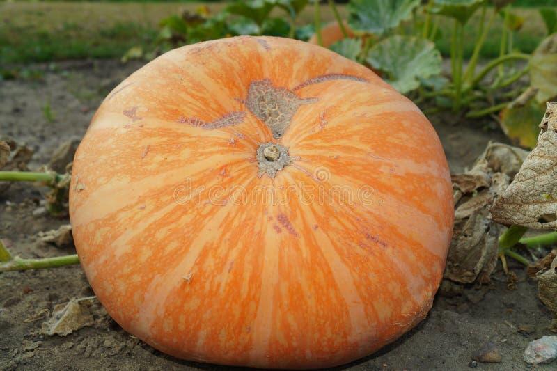 Huge pumpkin in garden. Garden in Lodz stock photography