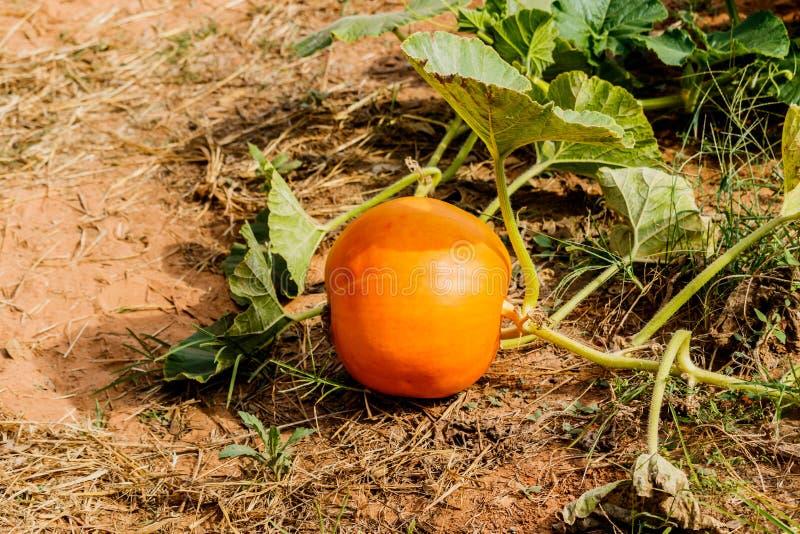 Huge pumpkin in garden. Huge orange pumpkin in garden royalty free stock photo