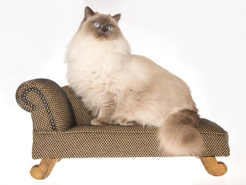 Huge Ragdoll Cat Sitting On Brown Sofa Stock Photo Image