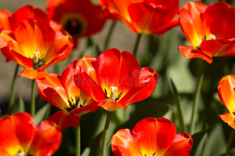 Huge red tulips. Background closeup zoom view. Tulips' field royalty free stock images
