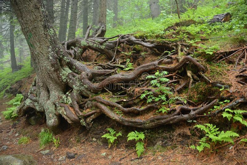 Huge roots of an old tree in a forest covered with ferns. The rocky roots of an old tree protruding above the ground royalty free stock images