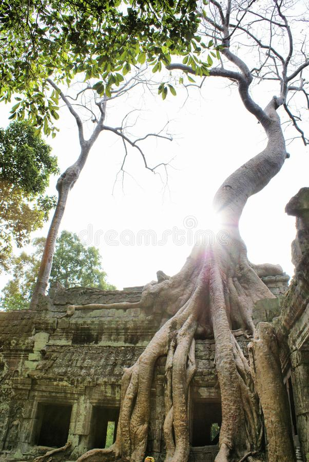 Huge roots on the temple stock photos
