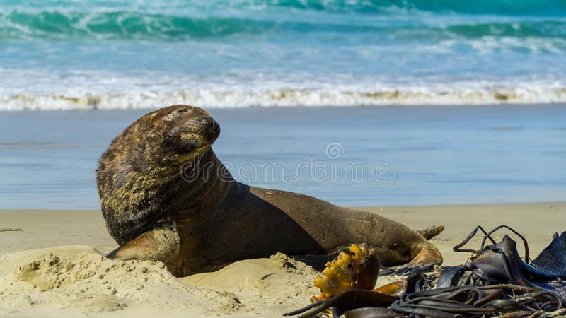 A huge sea lion at Cannibal Bay, New Zealand stock photo
