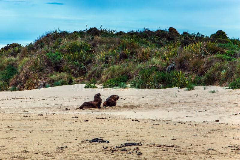 Huge sea lions resting on the sand royalty free stock images