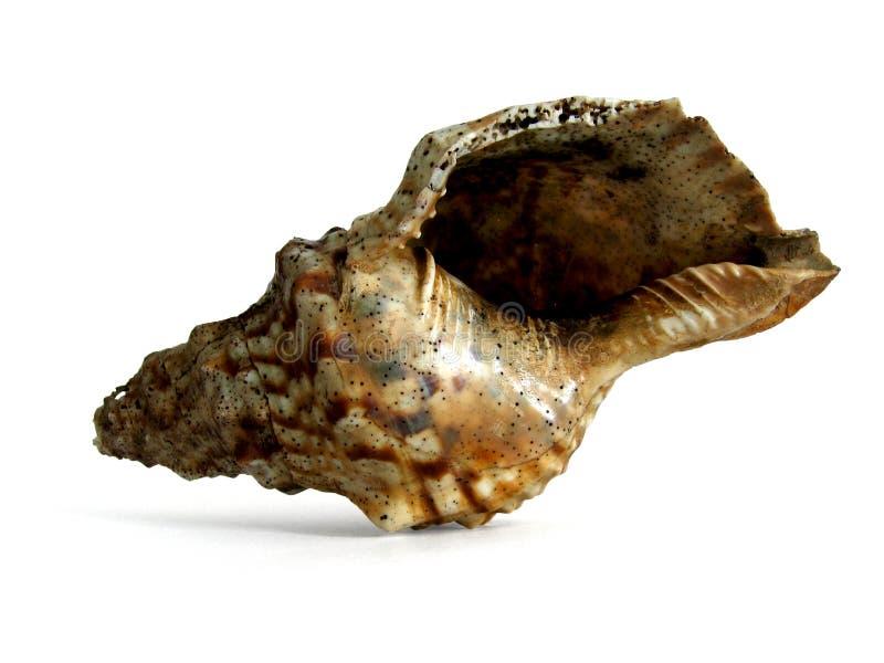 Huge Sea Shell stock photography