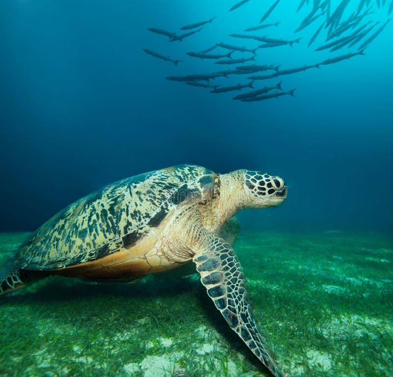 Huge sea turtle on the seaweed bottom royalty free stock image