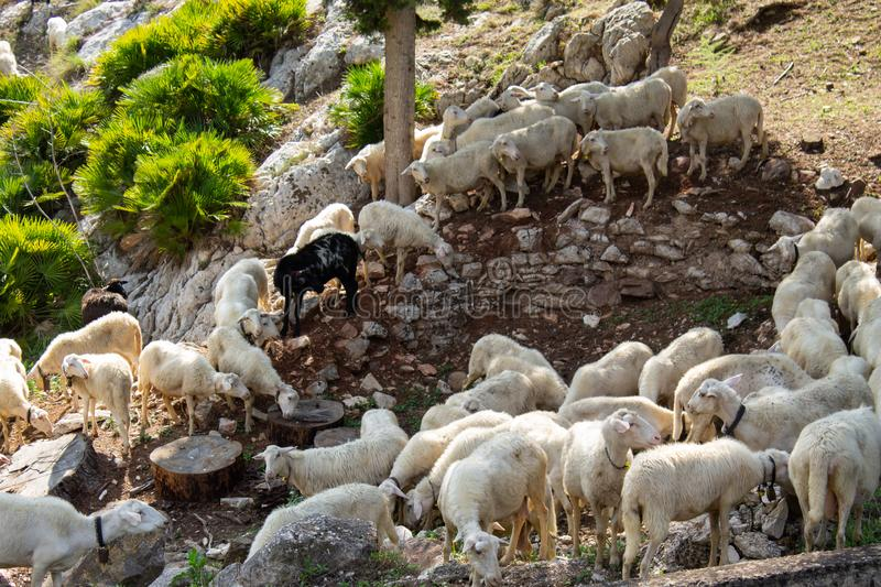 Huge sheep and goat herd. Grazing on the green hill in mountains royalty free stock image