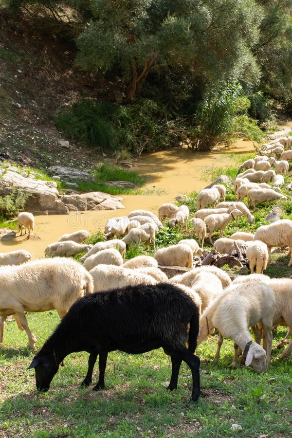 Huge sheep and goat herd. Grazing on the green hill in mountains stock photo