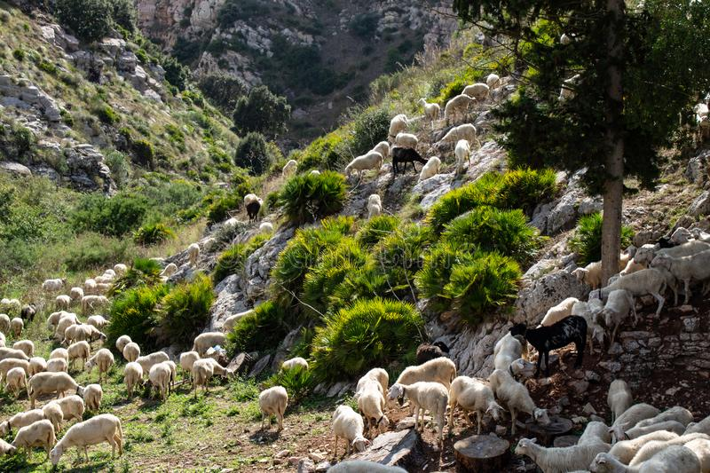 Huge sheep and goat herd. Grazing on the green hill in mountains stock photos