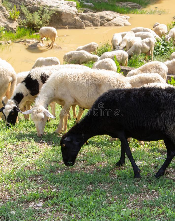 Huge sheep and goat herd. Grazing on the green hill in mountains royalty free stock photos