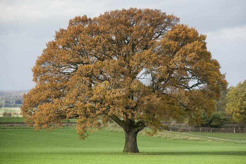 Download Huge Single Oak Tree In Autumn Stock Photo - Image: 14114404