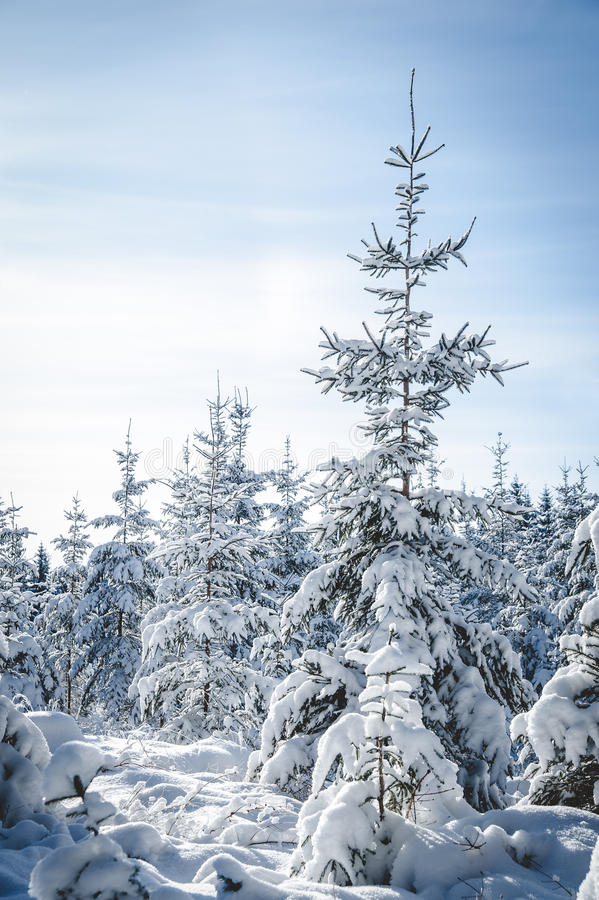 Huge Snowy Fir Tree Royalty Free Stock Images
