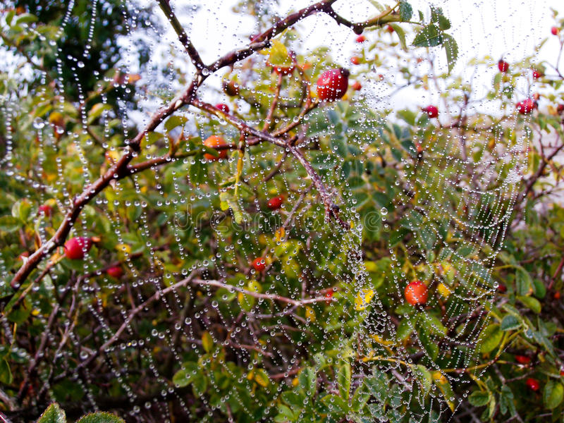 Huge Spider Web With Dew Drops Royalty Free Stock Photography
