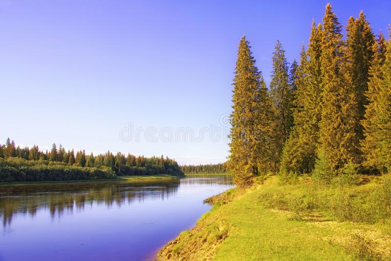 A sunny morning on the banks of a Siberian taiga river. Huge spruce trees as part of the taiga in the circumpolar Urals. The shore of the taiga river Severnaya stock photos