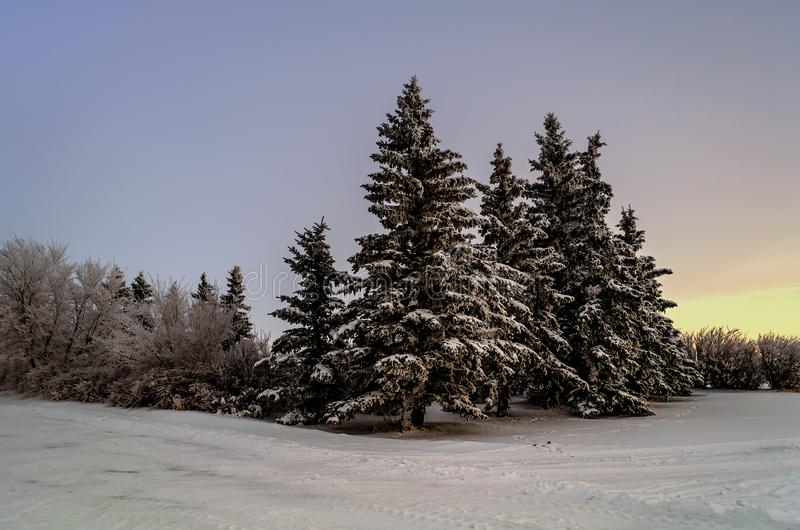 Huge spruce trees in a snow-covered winter forest in the evening twilight stock photo