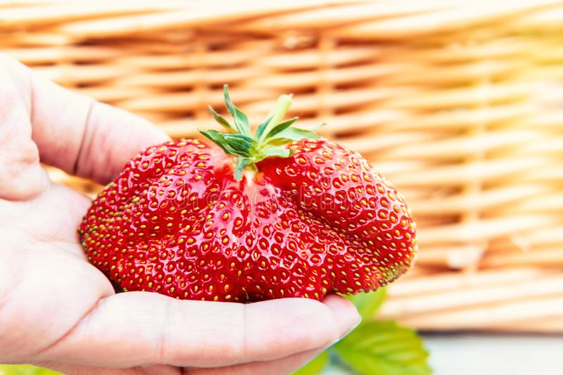 Huge strawberries in a female hand on the background of a wicker basket royalty free stock photo