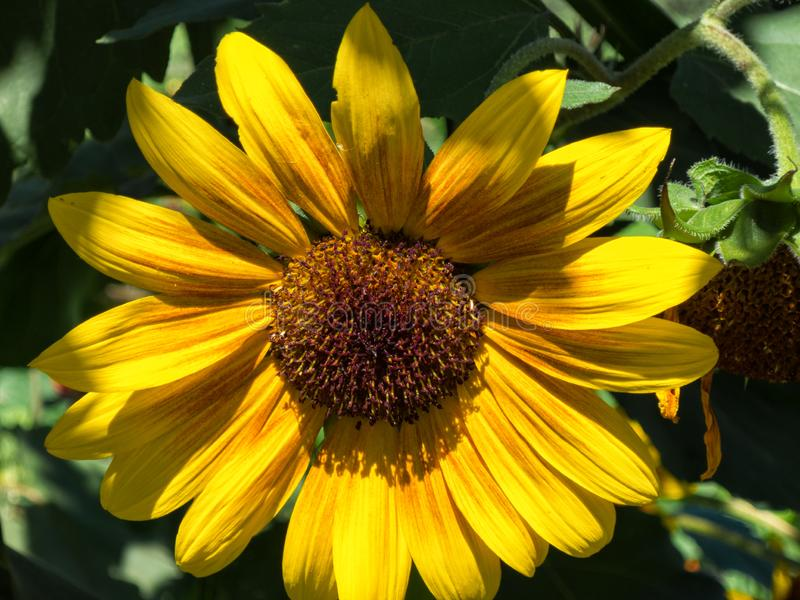 Sunflower in dramatic lighting royalty free stock photos