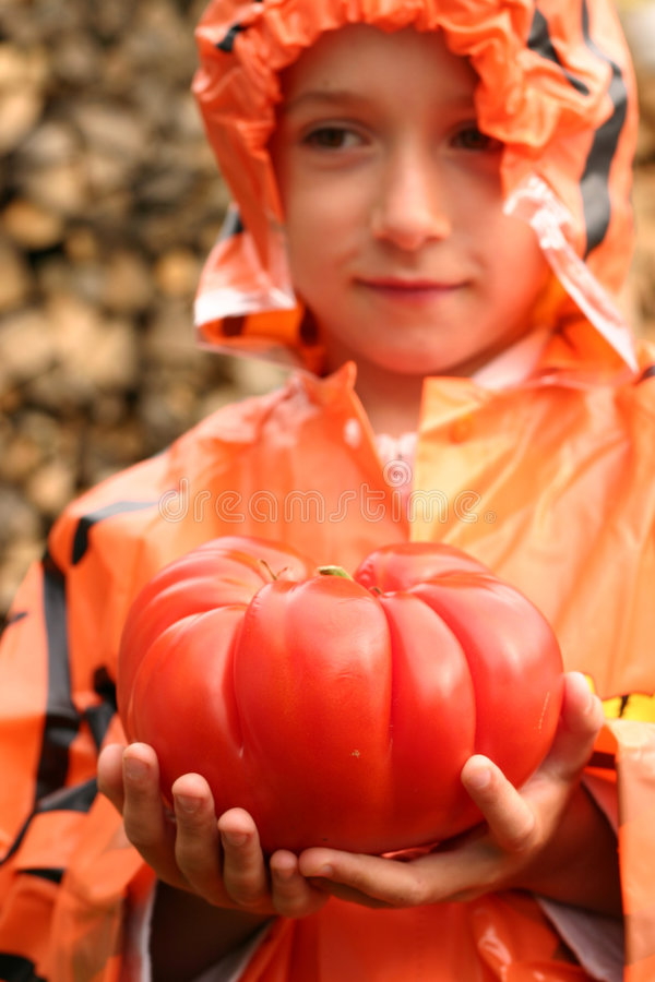 Huge tomato royalty free stock image