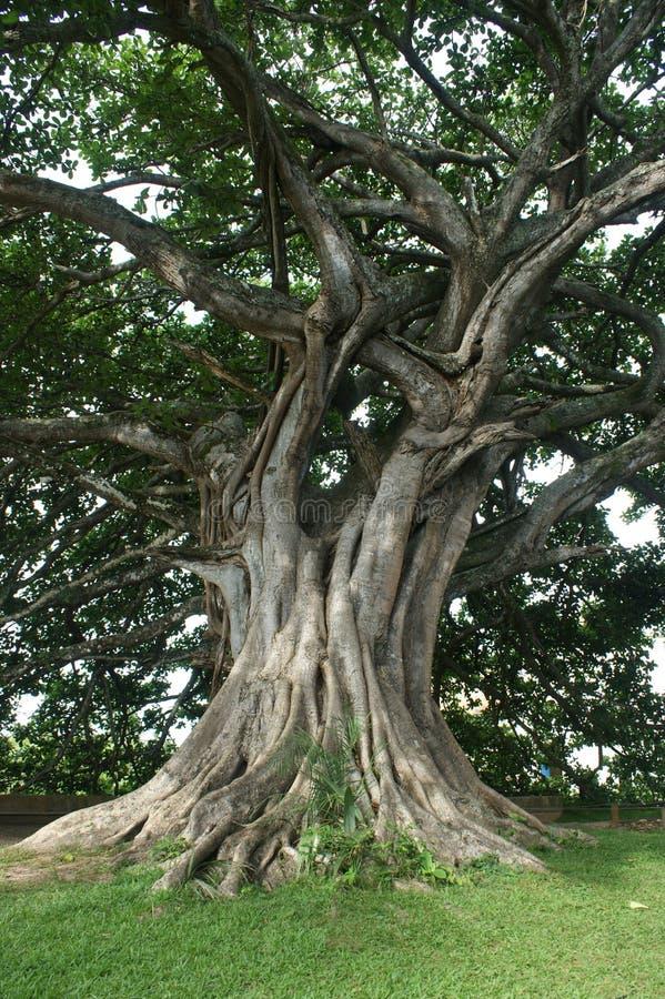 Huge tree stock image