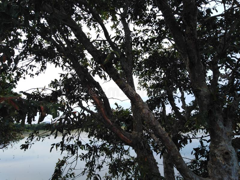 A huge tree in front of a lake dark leaves stock images