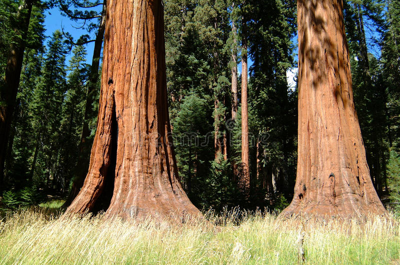 Huge Tree Trunk Of Redwood Trees Stock Image