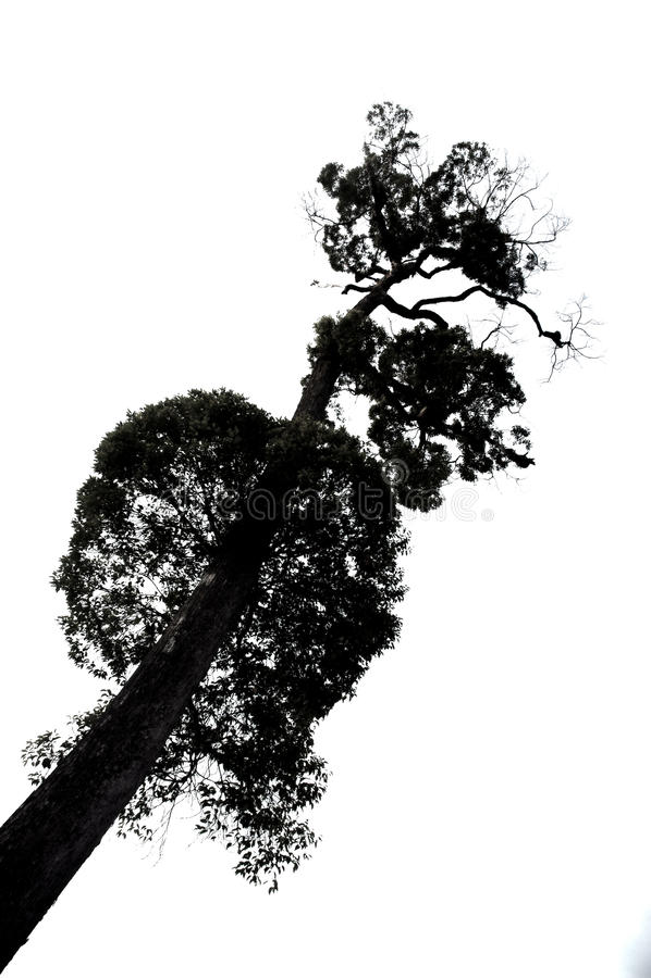 Download Huge trees towering stock illustration. Image of line - 33074298