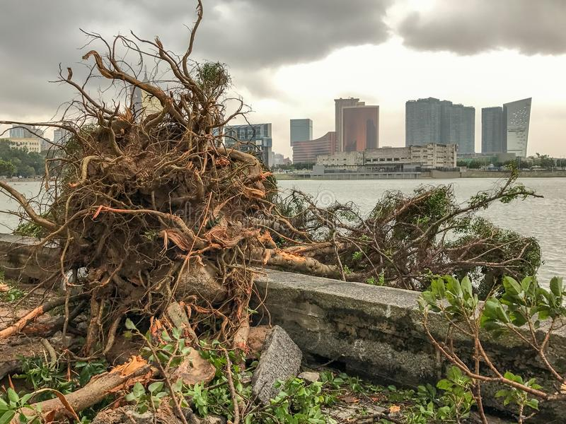 The huge trees uprooted. When the typhoon Hato hited Macao on 23 August 2017 stock photo