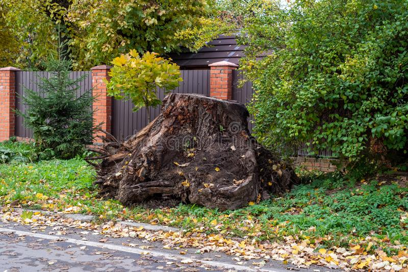 A huge uprooted stump on the side of a country road.  stock image