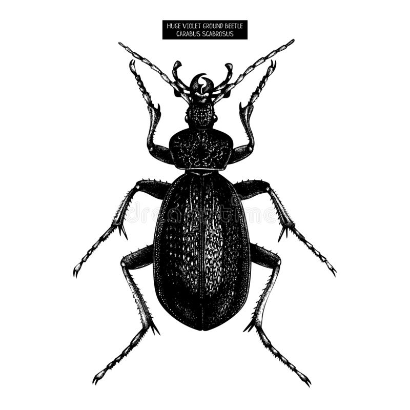 Huge Violet Ground Beetle hand drawn Illustration. Vintage illustrations of black bug sketch on white background. Vector insects royalty free illustration