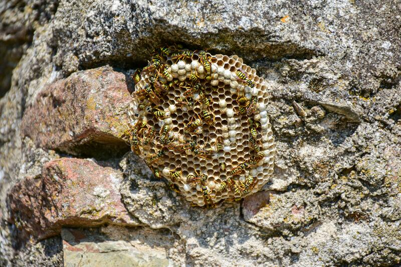Huge wasp nest. Honeycomb with wasps working on its construction stock image