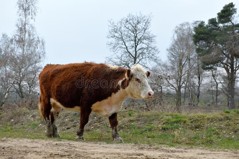 A big cow of the free roaming herd at Frisian Mountain, Rijssen. A huge white and red brown coloured cow of a the free roaming herd is walking along a path at royalty free stock photos