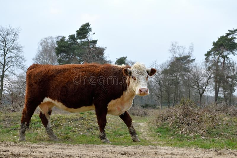 A huge white red brown cow of a free roaming herd at Frisian Mountain turn her face, Rijssen. A huge white and red brown coloured cow of a the free roaming herd stock photography